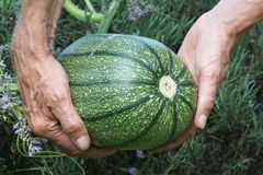 Pumpkin in hands. Pumpkin, growing, being held in a pair of hands Royalty Free Stock Photo