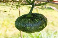 Pumpkin hanging bamboo Stock Image