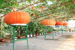 Pumpkin hanging on the plant in a farm Royalty Free Stock Images