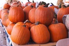 Pumpkin Harvest. Beautiful medium size pumpkins stand at the ready stock photo