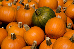 Pumpkin harvest in the farm field Royalty Free Stock Photo