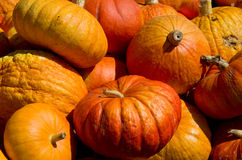 Pumpkin harvest in the farm field Royalty Free Stock Photos