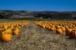 Pumpkin harvest in the farm field. Pumpkin field before the Halloween celebration Royalty Free Stock Image
