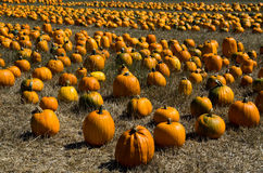 Pumpkin harvest in the farm field Stock Photos