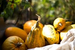 Pumpkin harvest. In the garden Royalty Free Stock Images