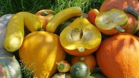Pumpkin harvest in garden. Closeup stock video footage