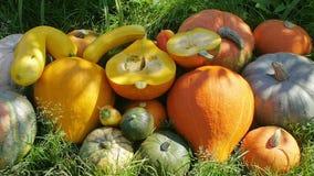 Pumpkin harvest in garden. Closeup stock footage