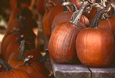 Pumpkin Harvest Stock Images