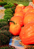 Pumpkin Harvest in local farm Royalty Free Stock Photography