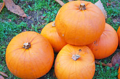 Pumpkin harvest Royalty Free Stock Photo