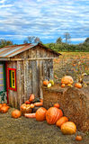 Pumpkin Harvest Season on the Farm. Pumpkin farm fields full of pumpkins ready to be picked against a bright blue contrasting sky Royalty Free Stock Images