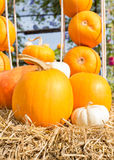 Pumpkin harvest season on the farm Stock Image