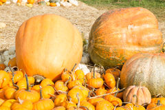 Pumpkin harvest season on the farm Stock Photo