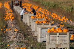 Pumpkin harvest. Workers harvest organic pumpkins for sale at market Royalty Free Stock Image