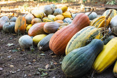 Pumpkin harvesting Royalty Free Stock Images