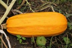 Pumpkin harvesting Royalty Free Stock Photography