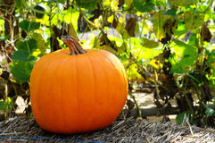 Pumpkin on a hay bale. Pumpkin sitting on a hay bale in front of trellised vines Royalty Free Stock Image
