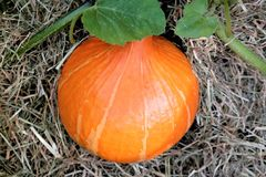 Pumpkin on hay. Food symbol of halloween and autumn Royalty Free Stock Image