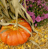 Pumpkin with Corn husks on hay next to purple mums Royalty Free Stock Photo