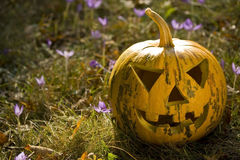 Pumpkin head. Halloween pumpkin in the garden stock photography