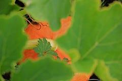 Pumpkin hiding under green leaves. A orange pumpkin peeking out from under its green leaves Royalty Free Stock Photography