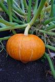 Pumpkin hokaido in the garden - autumn harvest stock photos