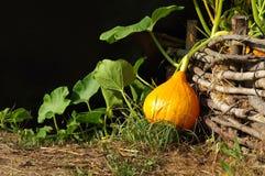 Pumpkin Hokkaido vegetable garden Royalty Free Stock Photography
