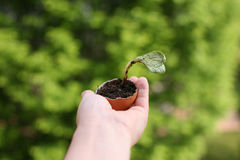 Germinated plant Royalty Free Stock Images