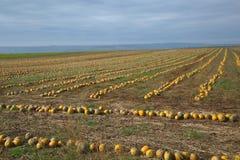 Pumpkin ield Stock Photos