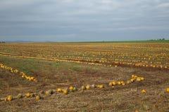 Pumpkin ield Stock Images