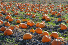Free Pumpkin In Farm Royalty Free Stock Photos - 12864318