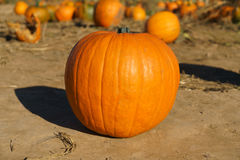 Pumpkin Isolated. An isolated orange pumpkin on a natural dirt floor or ground Royalty Free Stock Image