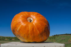 The Pumpkin King. A very large pumpkin sits on display at the local farm stand Stock Photography