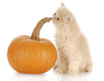 Pumpkin and kitten Stock Photos