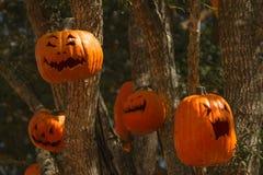 Pumpkin lanterns. Hanging on trees for halloween royalty free stock photos