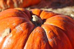 Pumpkin. Large pumpkin at pumpkin patch Stock Images