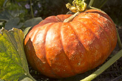 Pumpkin. Large ripe pumpkin lies on a bed in a kitchen garden Stock Images