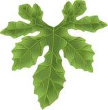 Pumpkin leaf Stock Photography