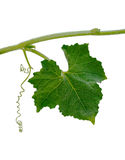 Pumpkin Leaf Royalty Free Stock Image