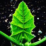 Pumpkin leaf Royalty Free Stock Photos