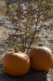 Pumpkin and Leaves. Two pumpkin near a bush in the country Stock Image