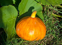 Pumpkin in the leaves Royalty Free Stock Images