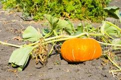 Pumpkin lies on the ground crop. The Pumpkin lies on the ground crop Royalty Free Stock Photos