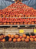 A pumpkin mountain. A mountain of pumpkins is the main character on the holiday halloween Stock Image