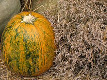 Pumpkin near to the small white flowers Stock Images