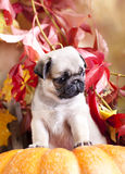 Pumpkin orange and pug Stock Photography