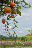 Pumpkin and Organic vegetables on farm. Royalty Free Stock Photo