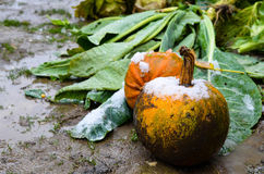 Pumpkin outdoor in the winter Stock Photography