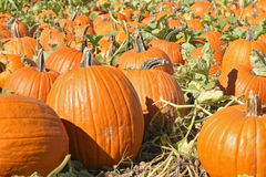 Pumpkin Patch_1. A pumpkin patch royalty free stock image