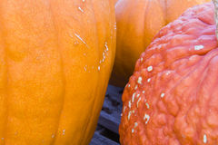 Pumpkin patch. Pumpkin closeup shows different colors and textures available in the pumpkin patch Royalty Free Stock Images